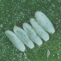 Mangold fly eggs