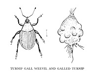 Turnip gall weevil and galled turnip